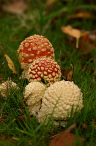 Group of young Fly Agarics