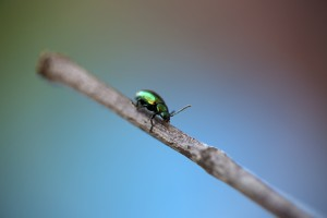 Tiny metallic green beetle