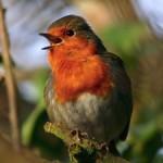 Nesting Robins (Erithacus rubecula)